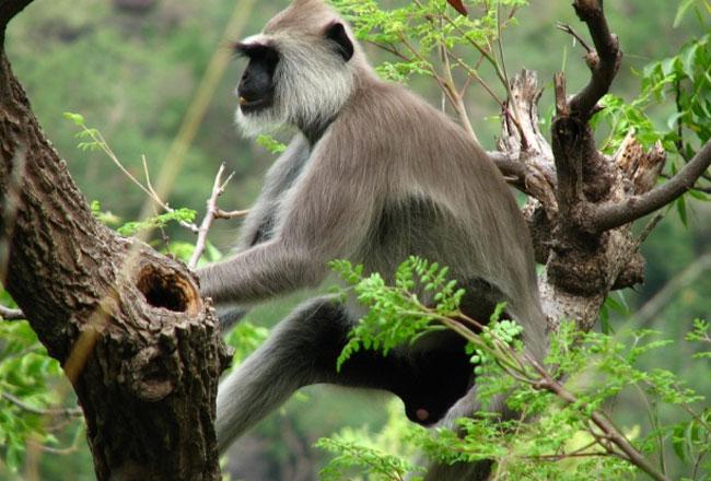 Indira-Gandhi-National-Park-langoor-5358
